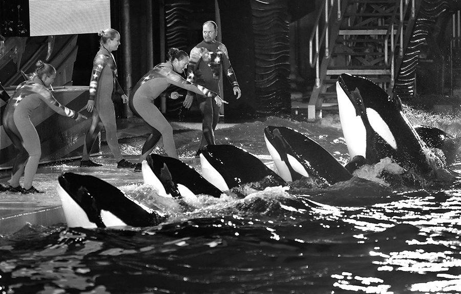 During a night performance at Shamu Stadium, trainers direct killer whales on March 20, 2014 at SeaWorld San Diego. (Don Bartletti/Los Angeles Times/TNS)