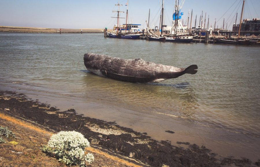 Whales Lay Ashore Due to Mass Beaching