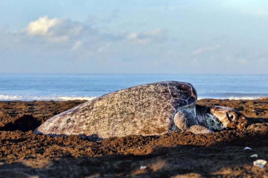 Black sea turtle begins nesting along the shores of Costa Rica.